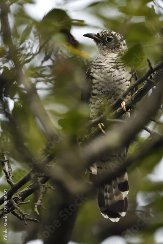 Deurstickers Vogel Young Indian cuckoo bird