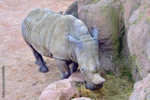 Fotobehang Neushoorn rinoceronte in primo piano