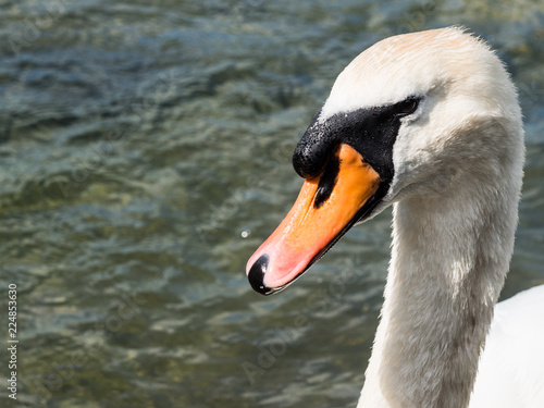White swan at a lake