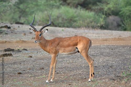 Foto op Plexiglas Antilope Impala