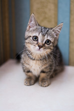 Kitten Cat Scottish Straight, ...