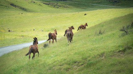 Wild horses running in the Kaimanawa mountain ranges, Central Plateau, New Zealand