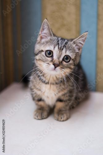 Obraz na plátne kitten cat scottish straight, lop-eared fluffy, animal tree