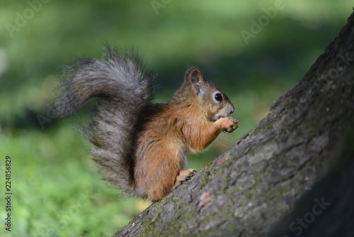 Tuinposter Eekhoorn Red squirrel in park