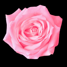 Pink Rose Flower Isolated On A...