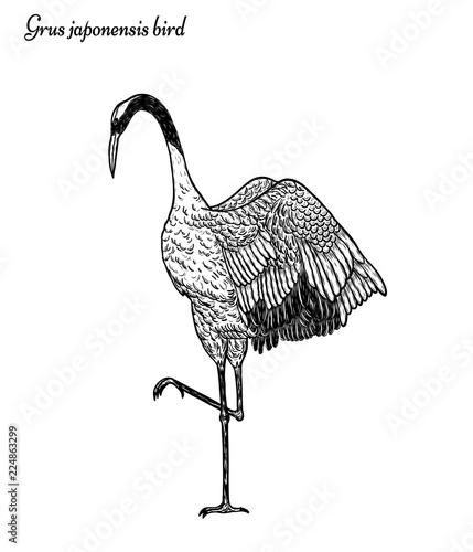 Red Crowned Crane With Pine Tree Vector By Hand Drawingbeautiful