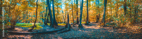 big panorama of german forest at autumn with some fallen leafs on the ground and orange colored trees