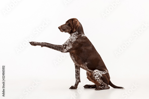 German Shorthaired Pointer - Kurzhaar puppy dog isolated on white studio background