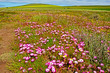 canvas print picture - Landscape red and white dorotheanthus wildflowers