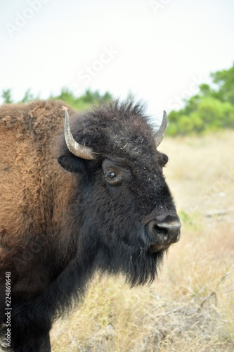 close up of a bison