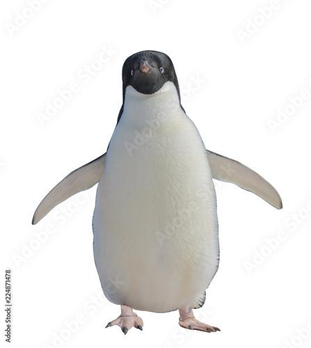 Adelie penguin isolated on white background