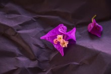 Purple Blossoms Of The Flower Bougainvillea On Dark Black Background For Condolences Cards