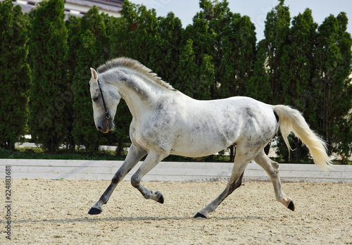 Fotografía  Andalusian horse galloping near the stable at the rest
