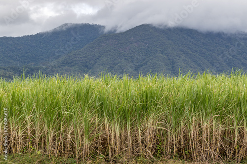 Valokuva  Field of sugar cane against mountain