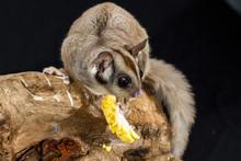 Australian Sugar Glider On A Branch Eating A Piece Of Corn