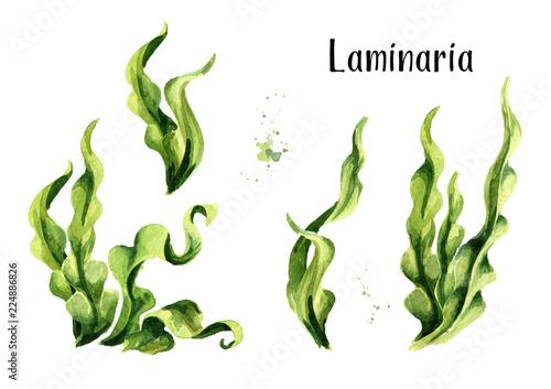 Fototapeta Laminaria seaweed, sea kale