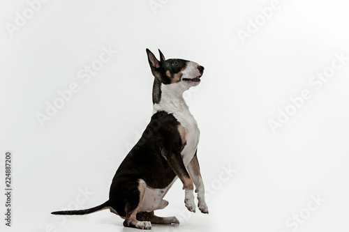 Bull Terrier type Dog on white studio background Wallpaper Mural