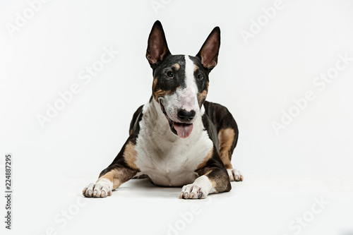 Fotografiet Bull Terrier type Dog on white studio background