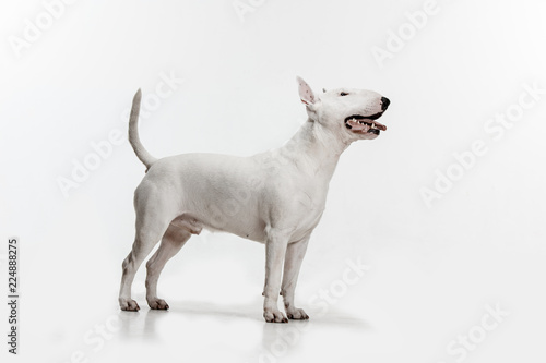 Photo Bull Terrier type Dog on white studio background