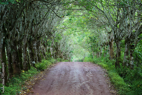 Fotografie, Obraz  canopy of green leafted trees over road to tortoise preserve, Galapagos  Islands