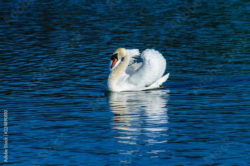 Foto op Plexiglas Zwaan swan on lake