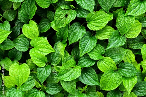 beautiful green betel leaves texture background - 224895401