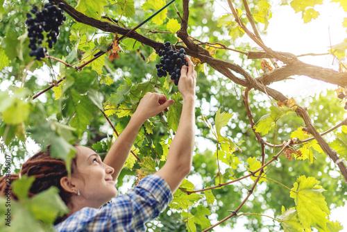 Girl winemaker harvesting clusters of Merlot red grapes in the vineyard for wine Fototapeta