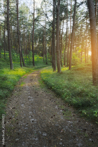 Path through evergreen coniferous pine forest at sunrise. Pinewood with Scots or Scotch pine Pinus sylvestris trees growing in Pomerania, Poland.