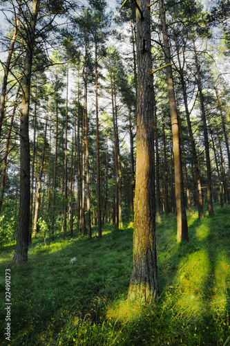 Papiers peints Forets Evergreen coniferous pine forest. Pinewood with Scots or Scotch pine Pinus sylvestris trees growing in Pomerania, Poland.