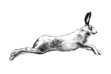 Vector Engraved Style Illustration For Posters, Decoration And Print. Hand Drawn Sketch Of Wild Hare In Black Isolated On White Background. Detailed Vintage Etching Style Drawing.
