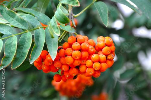 Fotografie, Obraz  Rowan berries, Mountain ash (Sorbus)