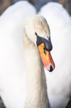 Swan At Llanmynech On The Bord...