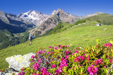 Hiker Walkpast Rhododendron Fl...