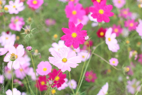 Stickers pour porte Pierre, Sable cosmos flowers are blooming in garden