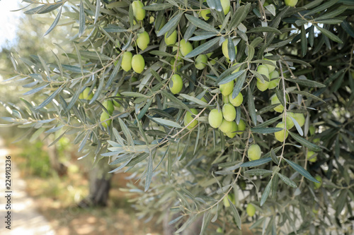 In de dag Olijfboom Olive tree branches with green olives before harvesting.