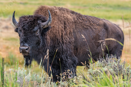 Spoed Foto op Canvas Bison Yellowstone Park bison