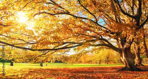 Fotografia  Herbst im Park, großer Baum, Panorama