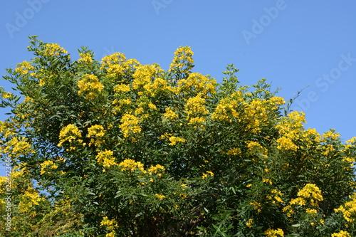 Stampa su Tela Cassia corymbos (Flowering senna)