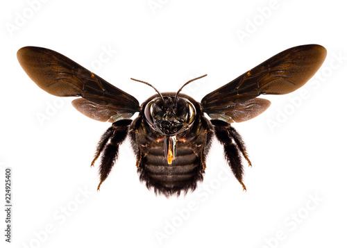 Valokuva Black, big bee. African Bee.