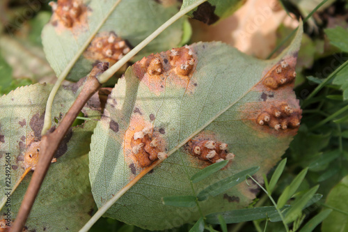 Pear leaf with Pear rust or Gymnosporangium sabinae infestation