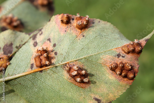 Pear leaf with Pear rust or Gymnosporangium sabinae infestation