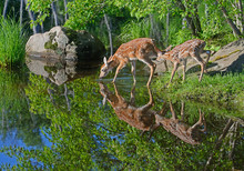 Two Baby White Tailed Deer Drinking From A Clear Lake.