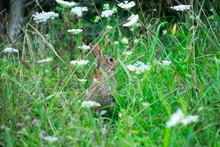 A Cottontail Rabbit Hiding In Tall Grass