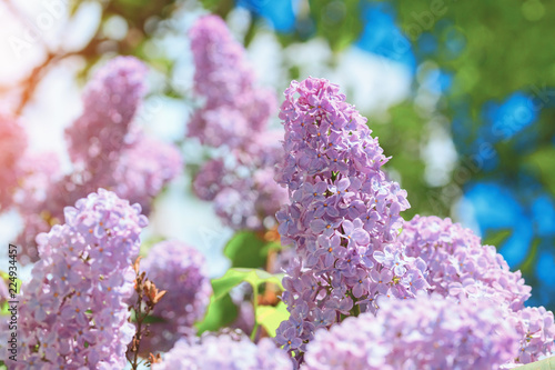 Keuken foto achterwand Lilac bright lilac bloom on blue sky background / fleeting moment in early summer