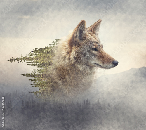 Fotografia Double exposure of coyote portrait and pine forest