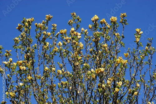 Branches Of A Yellow Magnolia Tree In Full Bloom Against A Deep