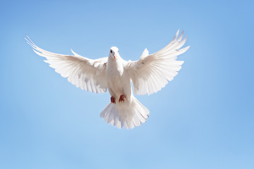 full body of white feather pigeon flying against clear blue sky