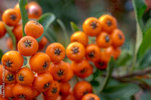 Fotografie, Obraz  Rowanberry on tree, close-up photo