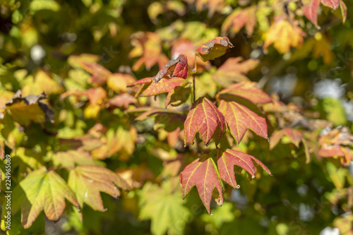 Spoed Foto op Canvas Natuur Leaves Changing Color in Fall