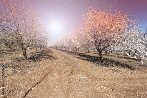 Almond garden in Israel